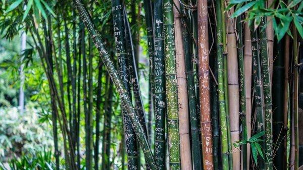 bambou protection de l'environnement