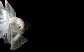 Mes poissons ont les nageoires qui retrecissent